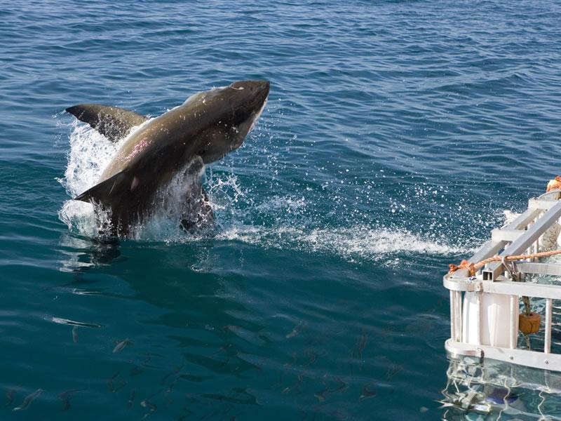 sharkcagediving1