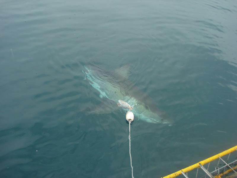 sharkcagediving4