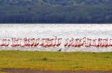flamingo-kenya